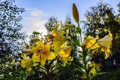 Flores de un lirio amarillo por la tarde del verano contra un fondo de abedules en los rayos del sol poniente Imágenes de archivo libres de regalías