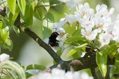 Flores de un peral en primavera Imagen de archivo libre de regalías