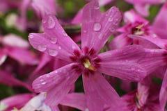 Flores de un rosa de Floks con descensos del agua Imagen de archivo