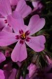 Flores de un rosa de Floks con el primer de las hojas Imagenes de archivo