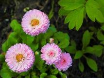 Flores de un rosa de la margarita con las hojas Imágenes de archivo libres de regalías