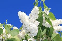 Flores de una lila blanca de la primavera hermosa contra un fondo del cielo azul foto de archivo