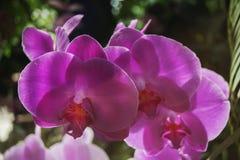 Flores de una orquídea púrpura en una rama, destacadas por el sol brillante, contra un contexto de un jardín Fotos de archivo