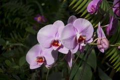 Flores de una orquídea rosa clara en una rama, en un fondo de un jardín Foto de archivo