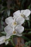 Flores de una orquídea una mariposa blanca Imágenes de archivo libres de regalías