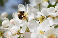 Flores de una pera con una abeja Fotos de archivo libres de regalías