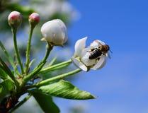 Flores de una pera con una abeja Imágenes de archivo libres de regalías