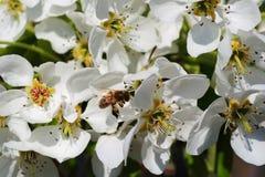 Flores de una pera con una abeja Fotografía de archivo