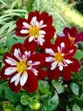 Flores de veludo vermelhas Foto de Stock Royalty Free
