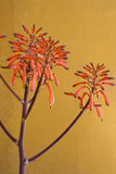 Flores de vera del áloe Imagen de archivo libre de regalías