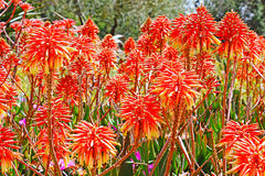 Flores de vera do aloés imagem de stock royalty free