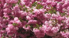 Flores de Windy Day Pink Kwanzan Cherry almacen de metraje de vídeo