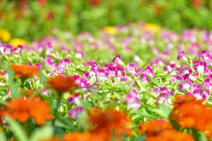 Flores de Wishbone en el jardín Fotos de archivo libres de regalías
