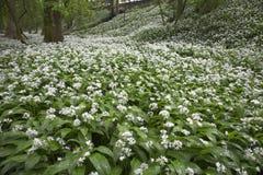 Flores de Woodlans Foto de Stock