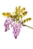 Flores de Wysteria Imágenes de archivo libres de regalías