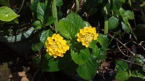 Flores de Yellon imagens de stock