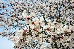 Flores de Yulan Soulangeana de la magnolia, flores en un árbol de la magnolia contra el cielo azul imagenes de archivo