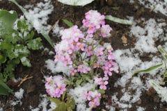 Flores debajo de la nieve Fotografía de archivo