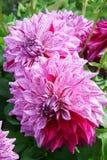 Flores decorativas Alpen Pauline Outdoor Sunlight imagen de archivo libre de regalías