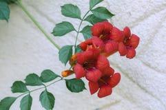 Flores decorativas vermelhas Fotos de Stock Royalty Free