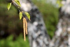 Flores del árbol de abedul en la primavera Imagen de archivo libre de regalías