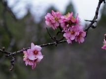 Flores del árbol de almendra fotos de archivo libres de regalías