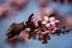 Flores del árbol de Aplpe con la mosca Imagen de archivo