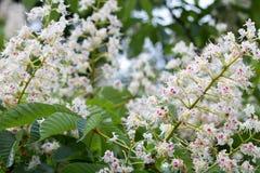 Flores del árbol de castaña en la floración Fotografía de archivo