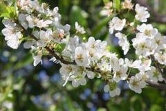 Flores del árbol de ciruelo Fotografía de archivo