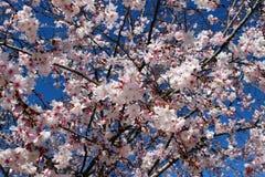 Flores del árbol de ciruelo imagen de archivo
