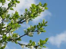 Flores del árbol de ciruelo Fotos de archivo libres de regalías