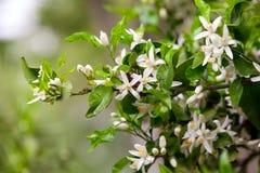 Flores del árbol de fruta cítrica foto de archivo libre de regalías