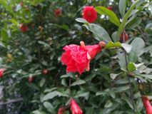 Flores del árbol de granada Foto de archivo libre de regalías