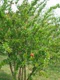 Flores del árbol de granada Frutas de las granadas Árboles en la plantación Cosecha Fotos de archivo libres de regalías