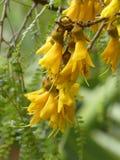 Flores del árbol de Kowhai Fotografía de archivo libre de regalías