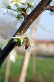 Flores del árbol de la abeja y de ciruelo Imagen de archivo libre de regalías
