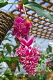 Flores del árbol de la lámpara Foto de archivo