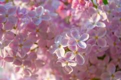 Flores del árbol de la lila fotografía de archivo libre de regalías