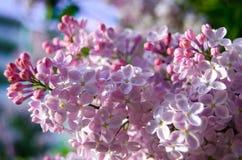 Flores del árbol de la lila fotografía de archivo