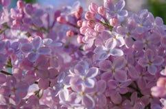 Flores del árbol de la lila imagen de archivo