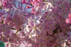 Flores del árbol de la lila foto de archivo