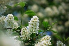 flores del árbol de la Pájaro-cereza imagenes de archivo