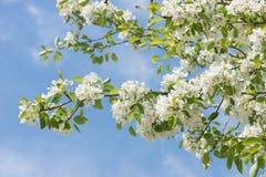 Flores del árbol de la primavera Fotos de archivo