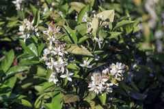 Flores del árbol de limón Fotos de archivo