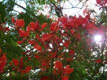 Flores del árbol de llama Foto de archivo libre de regalías