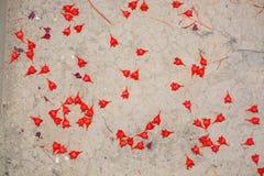 Flores del árbol de llama de Acerifolium fotografía de archivo