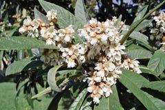Flores del árbol de loquat japonés imágenes de archivo libres de regalías