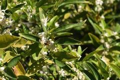 Flores del árbol de mandarina Imágenes de archivo libres de regalías