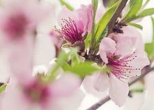 Flores del árbol de melocotón Imágenes de archivo libres de regalías