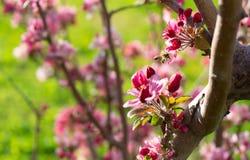 Flores del árbol de melocotón en primavera imagenes de archivo
